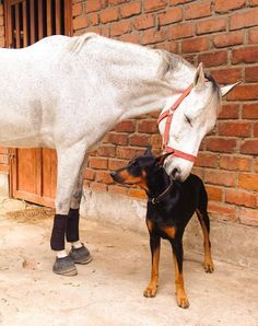 White, grey horse loving nibbling nuzzling on Doberman pincher dog. Such a sweet picture by Leslie Stark Modonese Pure love - @bossandkyradobes