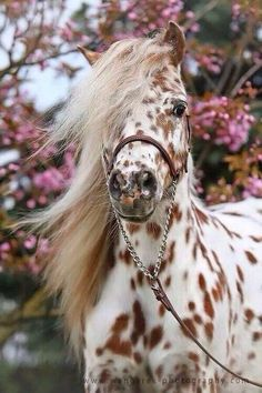 I love these type of horses. they are called appaloosa horses, which the American were very fond of back in the day. Caballos Appaloosa, Appaloosa Horses, Leopard Appaloosa, Dressage Horses, Cute Baby Animals, Animals And Pets, Funny Animals, Farm Animals, Cute Horses