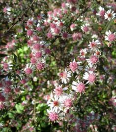 Plant Asters in well cultivated, fertile soil in sun or partial shade. They may need dividing every few years to maintain their vigour and flower quality. Colour Pink, Purple, White Month of Blooming September, October Planting Time Spring Height 90 cm Special Features Bee and Pollinator Friendly, Animal Resistant Garden Position Partial shade Type of Soil Fertile, Moist, Acid, Neutral, Alkaline Hardiness ..............My experience:  Are doing well.