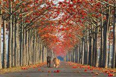 Alameda de paineiras-vermelhas da Índia, em Taiwan