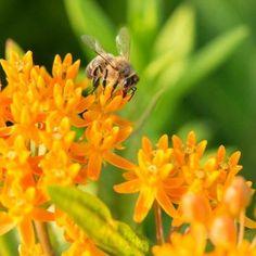 Vergeten bijenplanten: tien soorten op een rij door Jessica Griekspoor   MijnTuin.org