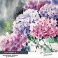 hydrangea X / Watercolour 30x40cm  on Arches CP © janinaB. 2016