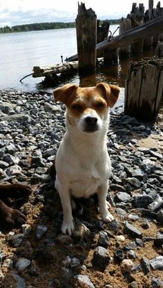 Danish Swedish Farmdog (Dansk-svensk gårdshund) ♥