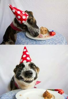 Dying laughing...great smiling dog having a go at his birthday cake. Priceless!