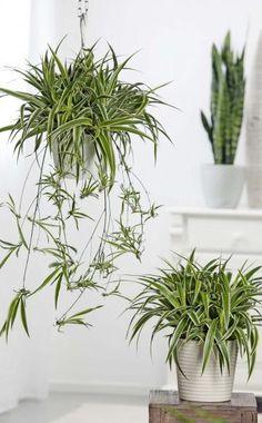 Drachenbaum: Pflege Und Vermehrung Pflege Von Pflanzen Probleme Grunde