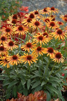 Echinacea 'Flame Thrower' Celebrated for its thick stems that support to flowers, 'Flame Thrower' coneflower ignites the garden with its two-toned blooms. Petals fade from red-orange Fall Flowers, Beautiful Flowers, Yellow Flowers, Pot Plante, Plantation, Summer Garden, Autumn Garden, Summer Fall, Flower Beds
