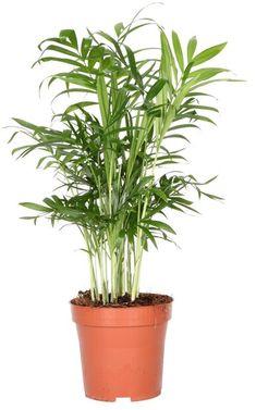 Dvergfjærpalme Høyde 25 cm | Plantasjen Indoor Plants, Planter Pots, Life, Ideas, Decor, Sun, Decorating, Inredning, Interior Decorating