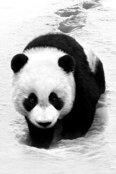 Panda, black and white animal photography