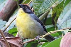 Perijá brush-finch - Rare bird paradise protected in war-torn Colombian mountain range (photos) » Focusing on Wildlife