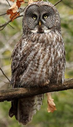 Great Gray Owl - by Jim Richmond - Fact sheet about Great Gray Owls