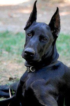 Pure black #Doberman