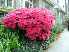 My Favorite Shrubs & Bushes for The Philadelphia Area - Newtown Square PA Delaware County, Chester County, Summer Flowers, Pink Flowers, Newtown Square, Philadelphia Area, Colorful Plants, Evergreen, Shrubs