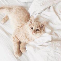So fluffy little one | cat | cute Pretty Cats, Beautiful Cats, Animals Beautiful, Kittens Cutest, Cats And Kittens, Cute Cats, Animals And Pets, Baby Animals, Cute Animals