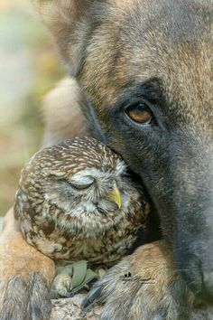 Owl and shepherd