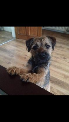 """Molly Border Terrier on Twitter: """"My brother Buster who lives in Geordie Land…"""