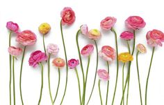 ranonkel #ranunculus #bloemen #flowers ranunculus -the imperfectness is a perfect choice for our 21-test tube flower vase