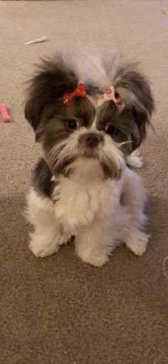 Teacup Puppies, Cute Puppies, Dogs And Puppies, Shih Tzu Puppy, Shih Tzus, Lion Dog, Dog Cat, Baby Animals, Cute Animals