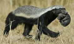 Honey badger mother and baby Animals And Pets, Baby Animals, Funny Animals, Cute Animals, Wild Animals, Life Is Too Short Quotes, Honey Badger, Fauna, Black Bear