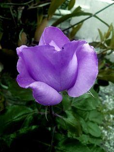 Purple Roses, Plants, Flowers, Purple Rose, Plant, Planets