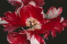 Nobuyoshi Araki - Fleurs