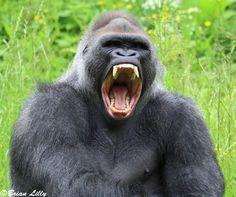 Koko Gorilla, Big Gorilla, Silverback Gorilla, Gorilla Tattoo, Western Lowland Gorilla, Mountain Gorilla, Weird Art, Orangutan, Tatoo