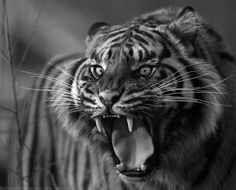 I ♥ Animals. Nature Animals, Animals And Pets, Cute Animals, Animals Photos, Beautiful Dark Art, Beautiful Cats, Types Of Tigers, Tiger Pictures, Tiger Painting