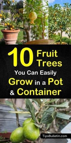 Here are 10 fruit trees you can easily grow in a pot or container if you're dealing with small spaces. With ever shrinking backyards, learn how to grow plants in containers and pots. You can grow fruit trees from seed in containers and pots. Potted Fruit Trees, Fruit Trees In Containers, Fruit Tree Garden, Dwarf Fruit Trees, Growing Fruit Trees, Growing Tree, Garden Trees, Trees In Pots, Plants In Pots