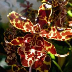 Tiger pattern Cattleya Orchids ....Exotic flowers                                                                                                                                                                                 Mais