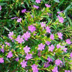 False Heather (Cuphea Hyssopifolia) | Budget Plants