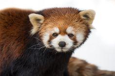 Photograph Red Panda XVI by Abeselom Zerit on 500px