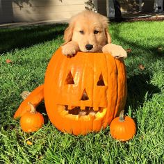 130 Best Halloween Dogs Images Pets Cute Dogs Costumes
