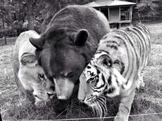 Lion, bear & a Tiger walk into a bar...