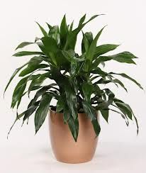 Dracaena deremensis `Janet Craig' -     Light: Moderate to bright light. Keep plant out of direct sunlight which can scorch its leaves, leaving brown marks. Pale leaves can indicate that light is too low.    Water: This Dracaena plant will tolerate many abuses, but not soggy soil. Water thoroughly, allowing the top inch (2.5 cm) of the soil to dry out between waterings. Use a pot with a drainage hole to prevent wet soil.