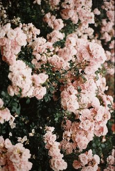 Soft and girly, pale pink rosebush