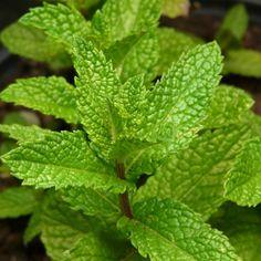 Zitronenmelisse – Heilpflanze mit viel Potenzial