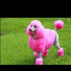 Image detail for -pink-poodle-real-dog Poodle Grooming, Dog Grooming, Pink Animals, Cute Animals, Colorful Animals, Creative Grooming, Pet Shampoo, Sick Dog, Pink Poodle