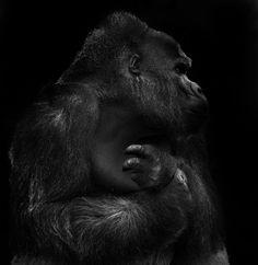 Animals by Sue Demetriou Black White Photos, Black And White Photography, Silverback Gorilla, Baby Gorillas, White Pencil, Baboon, Animals Of The World, Primates, Wildlife Photography