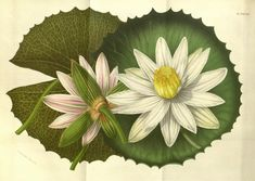 Nymphaeaceae botanical painting | Water Lily. Nymphaeaceae is a family of flowering plants. Members of this family are commonly called water lilies and live as rhizomatous aquatic herbs in temperate and tropical climates around the world.