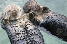 An otter hold hands with its' partner while floating downstream so they do not lose each other when they awake.