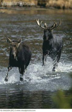 Moose--catching up!