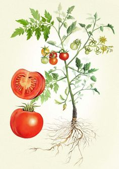 Tomato Plant Illustration - Adam Dal Pozzo × Creative Direction × Design × Illustration