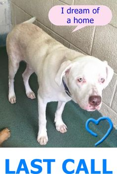 Leonidas 6 month old am bulldog pup, a confiscate available 7/29 per kennel card. Another gorgeous but sad boy. These dogs struggle to understand the sudden loss of their home and it takes time to acclimate to the harsh shelter life.#A1696148 at Mia Dade Animal Services https://www.facebook.com/urgentdogsofmiami/photos/pb.191859757515102.-2207520000.1438943685./1021320687902334/?type=3&theater