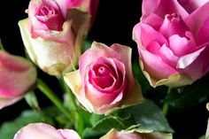 Pink Roses - Beautiful pink roses with dew drops on them.