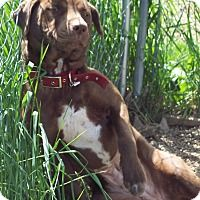 Dixie is a female Labrador Retriever/Boxer mix. She loves to play and would enjoy a family with a fenced yard so she can run around all day.