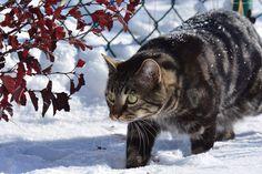 Kot, Spacer, Ogrodzenie, Śnieg, Zima