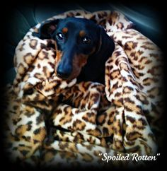 Dachshunds are such a snuggly breed! and, they love to sleep under the blankets!