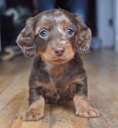 Arlequin Dapple Dachshund Puppy, Dachshund Breed, Dachshunds, Cute Dogs Breeds, Cute Dogs And Puppies, Dog Breeds, Baby Animals Pictures, Cute Animal Photos, Cute Little Animals