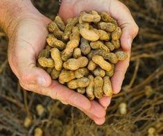 Come coltivare arachidi in vaso. Tecniche di moltiplicazione, consigli pratici e suggerimenti utili per auto-produrre arachidi home-made.