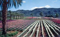 The Japanese Flower Gardens in the 1960s, south Phoenix, Arizona. South Mountain in the background.