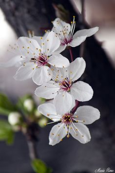 Ideas For Big Tree Background Beautiful Flowers Wallpapers, Beautiful Nature Wallpaper, Most Beautiful Flowers, Pretty Flowers, Blossom Trees, Blossom Flower, Flower Art, Art Flowers, Blossoms